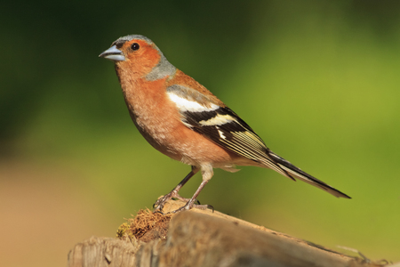 Male Chaffinch, the main focus is on the birds eye with a colourful out of focus background,songbird, forest bird
