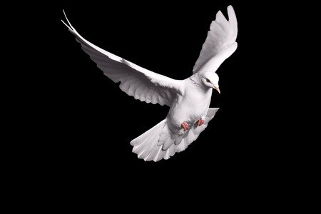 white dove flying on black background for freedom concept in clipping path,international day of peace 2017,pigeon, mail, good news, peace