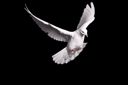 Witte duif vliegen op zwarte achtergrond voor vrijheidsbegrip in clipping path, internationale dag van vrede 2017, duif, mail, goed nieuws, vrede
