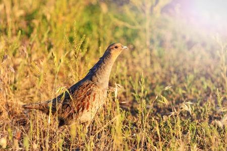 kuropatwa: gray partridge hiding from hunters on the sidelines,bird hunting, trophy, wild bird Zdjęcie Seryjne