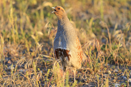 bird song: gray partridge is singing a wedding song spring,bird hunting, trophy, wild bird Stock Photo