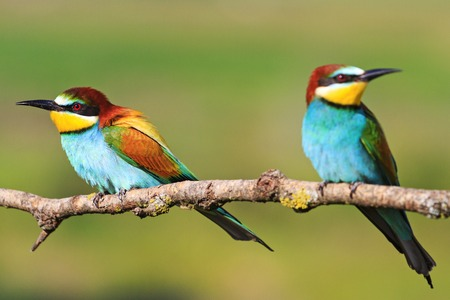 couple colored bird with beautiful feathers sitting on a branch,European bee-eater