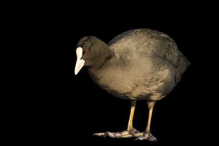 coot looking at his feet isolated on black,wintering birds, birds in the city, man and nature,Fulica atra