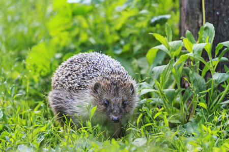 Hedgehog among the green grass in the garden,animals, animal barbed needles, mammals