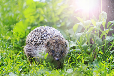Hedgehog among the green grass in the garden with sunny hotspot,animals, animal barbed needles, mammals Stock Photo