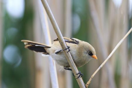 secretive bird sitting on reed stem,bearded reedling Panurus biarmicus Stock Photo