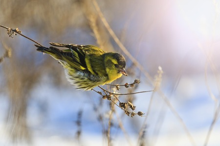 Eurasian siskin Spinus spinus sitting on a dry blade of grass with sunny hotspot,forest bird, winter, cold, survival