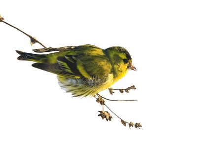 Eurasian siskin , Spinus  ,sitting in weeds isolated on white