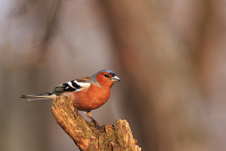 common chaffinch Fringilla coelebs sitting on a dry branch in the sun that comes,forest bird, spring, bird singing, the early bird Stock Photo