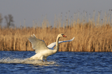 synchronously: mute swan flutters on a blue lake