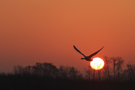 mute swan flying at sunrise over spring lake
