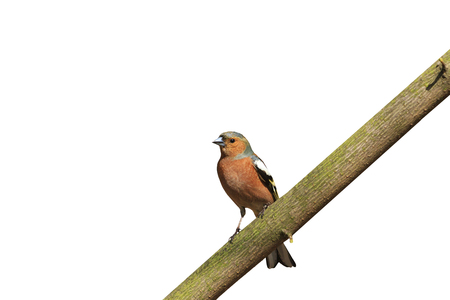 common chaffinch Fringilla coelebs sitting on branch isolated on white,forest bird, spring, bird singing, the early bird