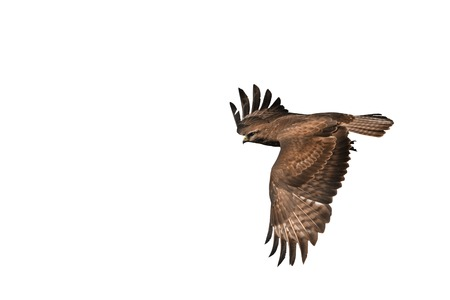 zopilote: common buzzard Buteo  isolated on white