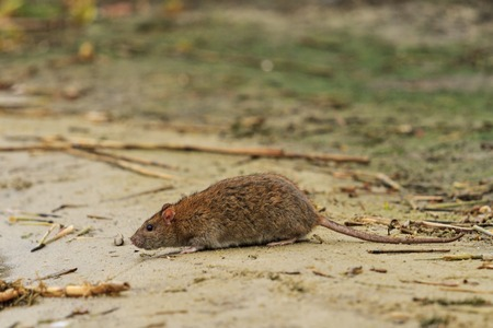 gray rat on the lake of waste,symbol year , the plague, rodents, carrier infections