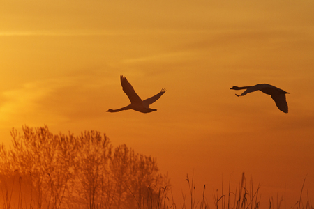 pair of lovers swans flying at sunrise silhouettes, orange sky, birds in flight Stock Photo