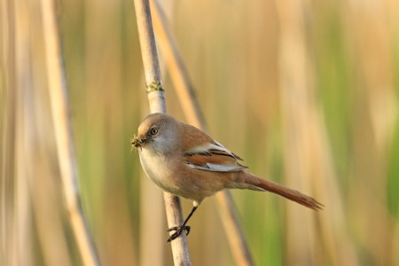 rare bird insect in its beak reeds, hidden bird feeding chicks,bearded reedling ,Panurus biarmicus