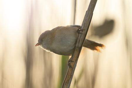 bird watcher: Panurus biarmicus in backlit sitting on reed,bearded reedling