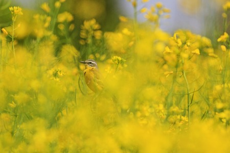 motacilla: yellow bird of yellow flowers,canola, field Agriculture,western yellow wagtail ,Motacilla flava Foto de archivo