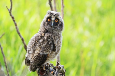 white perch: little owlet sitting on a branch among green grass,owl, wise bird, a symbol of Witchcraft,long-eared owl , Asio otus