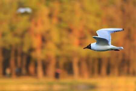 black and white seagull flying on a background of colored woods,wildlife, waterfowl, black and white bird,fly Stock Photo