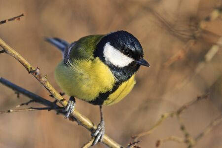 yellow black bird sitting on a branch among bushes,forest bird, bright colors, wildlife Stock Photo