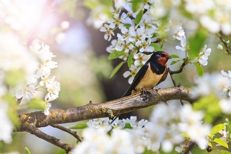 white perch: first swallow at sunset,early birds, spring, first flowers, apple blossom, cherry blossom, spring mood Stock Photo