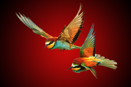 pair colored birds concept for Valentines Day,love, forever together, flying lovers, dreams, happiness Stock Photo