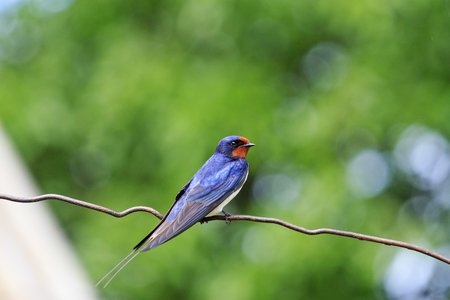 first swallow sign spring symbol,symbol of spring, the first bird, morning bird, great singing, the early bird