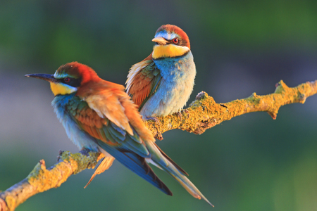 beautiful couple in love birds,colored birds, wildlife, rare animals, bee-eaters Stock Photo - 71830216