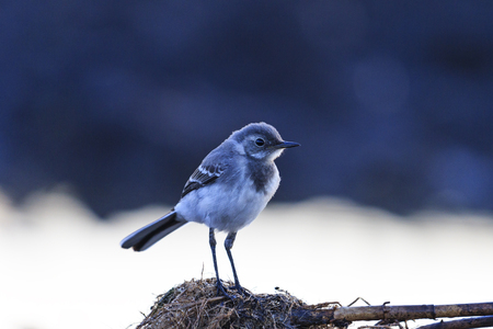 small gray bird and cold morning,young, greenhorn, wild birds, insectivores Stock Photo