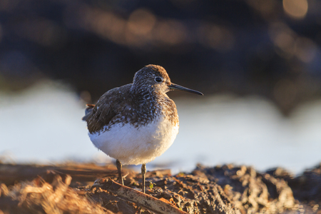 first spring birds sandpiper basking in the first rays,wildlife,sping 2017