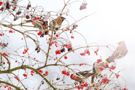 waxwings eating berries with sunny hotspot,winter survival, flocks of birds, feeding birds, migration, wildlife
