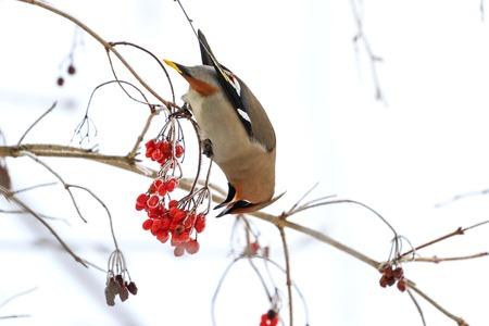waxwing eating berries with,winter survival, flocks of birds, feeding birds, migration, wildlife