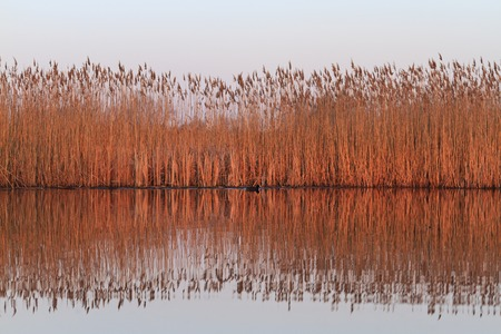 reed and coot illuminated red sun,wildlife, spring migration, migratory birds, waterbirds, northern birds Stock Photo
