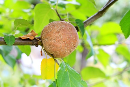 disease of fruit trees,apple, rotten apple Stock Photo