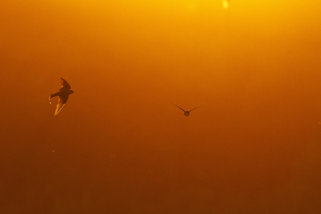gold wings and dark silhouettes of birds,summer silhouette, backlight, golden rays, swallows Stock Photo