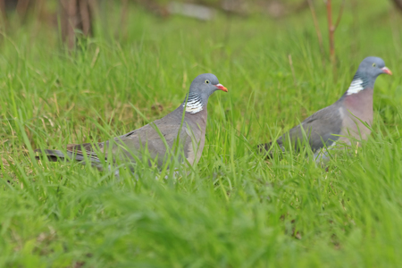 pair wood pigeon in spring grass,pigeons, wild birds, wild birds, spring, mating