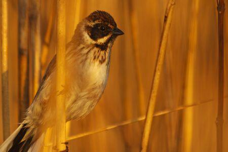 common reed: reed bunting ,Emberiza schoeniclus in the morning sun,marsh birds, hidden life, the spring sun
