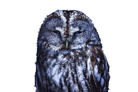 Strix aluco isolated on white background,owl, symbol of wisdom, nocturnal, mystic, mystical bird Stock Photo