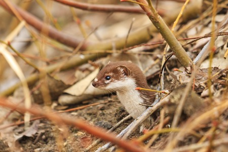 Least weasel small forest predator