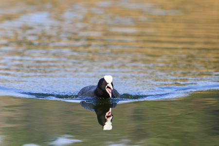 coot protects its territory