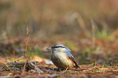 wildanimal: nuthatch sitting on the ground with the mite in its beak