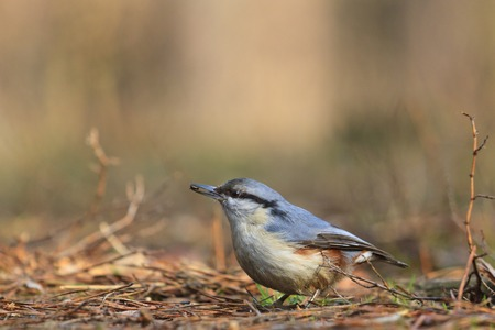 wildanimal: nuthatch sitting on the earth in the first stairs grass