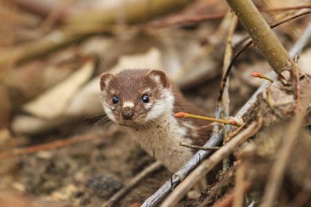 Least weasel looks from mink among fallen leaves Standard-Bild
