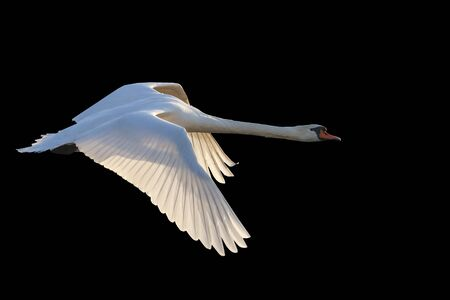 white swan flying on black background,beautiful birds, white birds, love, forever, purity, symbol of love, nobility elegance