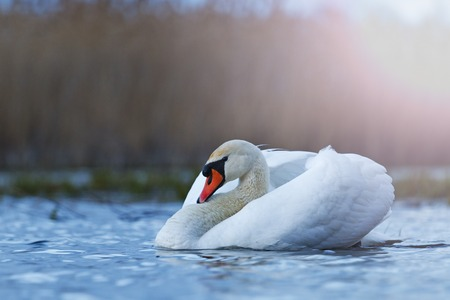 fidelidad: white mute swan on blue at twilight lake,love, fidelity symbol, a symbol of purity, atah white, white feathers, wildlife, help, natural beauty, flight