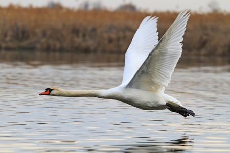 beautiful swan flying over the lake,love, fidelity symbol, a symbol of purity, atah white, white feathers, wildlife, help, natural beauty, flight