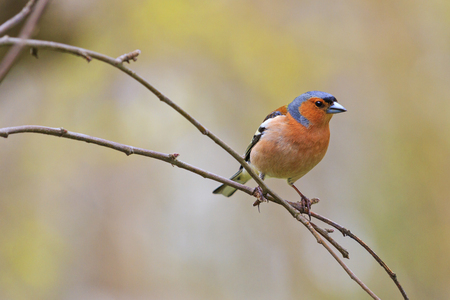 chaffinch in spring day sits on branch in the garden,Spring birds singing, beautiful melody, the birds in the garden, the birds in