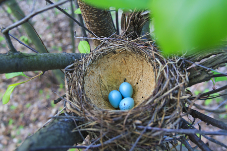 sharp: Nest with blue eggs,new generation, reproduction, spring, forest birds songbirds Stock Photo
