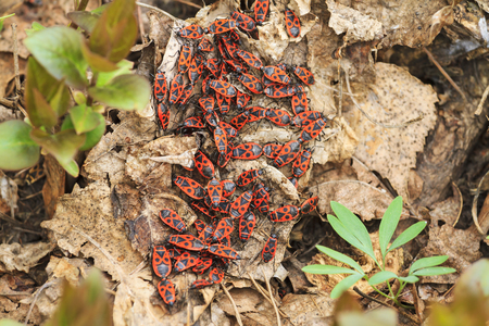 wingless: firebug in the garden,Pyrrhocoris apterus,spring, insects, bugs red shell Stock Photo